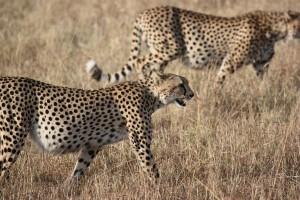 Zwei Geparde streifen durch die Savanne...