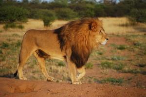 Löwe - Der König der Tiere