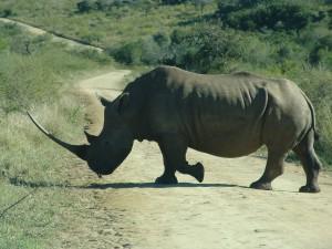 Nashorn auf Weg