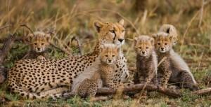 Gepard mit Kindern