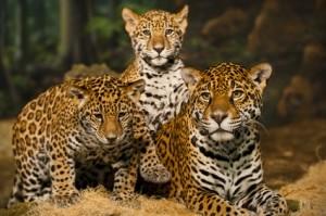 Jaguar mit Kindern