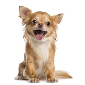 Fröhlicher Chihuahua