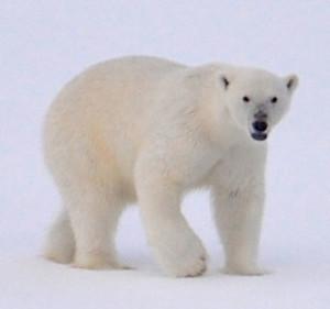 Eisbär auf Grönland